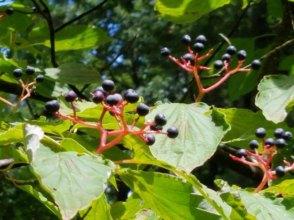 Alternate-leaf Dogwood (Cornus alternifolia)