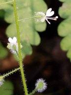 Possibly Enchanter's Nightshade (Circaea canadensis)