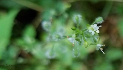 Possibly Enchanter's Nightshade (Circaea canadensis)