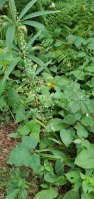 Featherbells (Stenanthium gramineum) Plant
