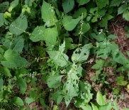 Lopseed (Phryma leptostachya) Plant