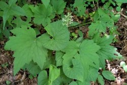 Rock Alumroot (Heuchera villosa) Plant