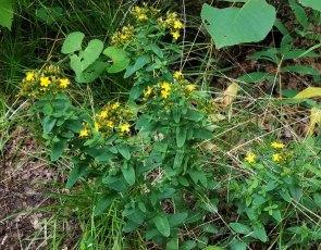 Spotted St. John's-wort (Hypericum punctatum) Plant