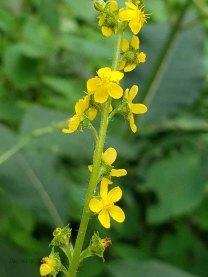 Tall Agrimony (Agrimonia gryposepala)