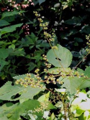 Wood Nettle (Laportea canadensis)