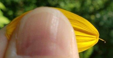 False Sunflower (Heliopsis helianthoides) Fertile Ray with 2-Pronged Style