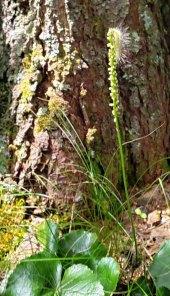 Galax (Galax urceolata) Fruit & Caterpillar
