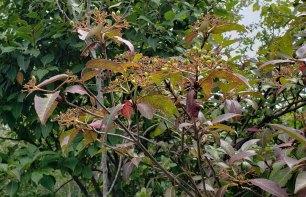 Wild Raisin (Viburnum nudum var. cassinoides) Fruit