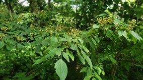 Alternate-leaved Dogwood (Cornus alternifolia) Fruit