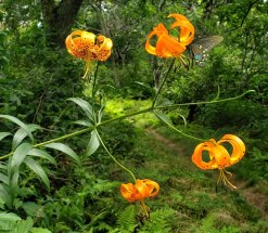 Turk's Cap Lily (Lilium superbum)