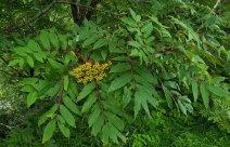 American Mountain Ash (Sorbus americana) Fruit
