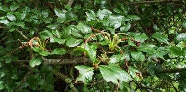 Clammy or Swamp Azalea (Rhododendron viscosum) Fruit