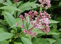 a Joe-Pye-Weed (Eutrochium sp.)