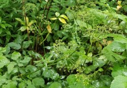 American Lovage (Ligusticum canadense) Going to Seed