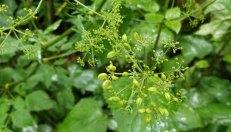 American Lovage (Ligusticum canadense) in Seed