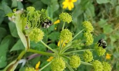 Bees on a Filmy Angelica (Angelica triquinata)