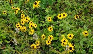 Black-eyed Susan (Rudbeckia hirta) Arrangement