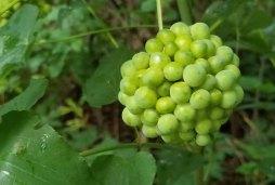 Carrion Flower (Smilax herbacea) Fruit