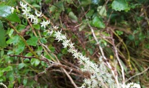 Featherbells (Stenanthium gramineum)
