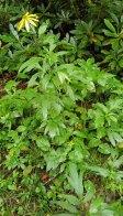 Green-headed Coneflower (Rudbeckia laciniata) Plant