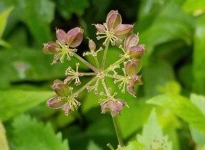 Hairy-jointed Meadow Parsnip (Thaspium barbinode) Seeds