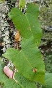 Hedge Bindweed (Calystegia sepium) Leaves