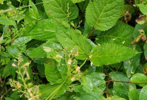 Horse Balm (Collinsonia canadensis) Leaves