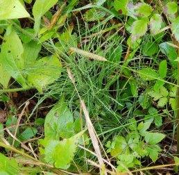 Horsetail (Equisetum sp.)