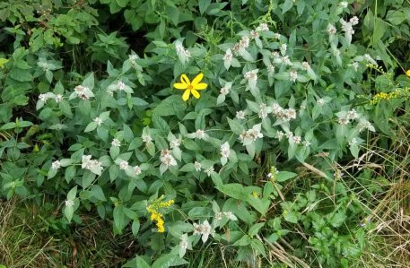 Mountain Mint (Pycnanthemum montanum) Plant