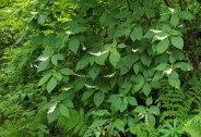 Mountain Sweet Pepperbush (Clethra acuminata) Bush