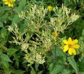 Pale Indian Plantain (Arnoglossum atriplicifolium)