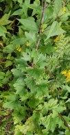 Pale Indian Plantain (Arnoglossum atriplicifolium) Leaves