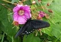 Pipevine Butterfly on a Purple-flowering Raspberry (Rubus odoratus)