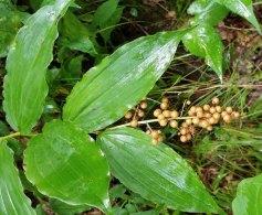 Solomon's Plume (Maianthemum racemosum) in Seed