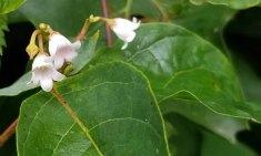 Spreading Dogbane (Apocynum androsaemifolium)