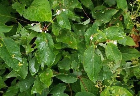 Spreading Dogbane (Apocynum androsaemifolium) Plant