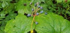 Umbrella Leaf (Diphylleia cymosa) in Seed