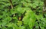 Umbrella Leaf (Diphylleia cymosa) Plant