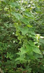 Wild Yam (Dioscorea villosa) in Seed