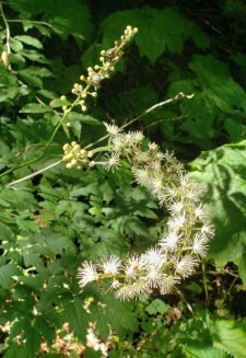 Mountain Bugbane; Late Black Cohosh (Actaea podocarpa)