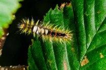 Rusty Tussock Moth Caterpillar (Orgyia antiqua)