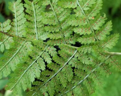 a Wood Fern (Dryopteris sp.)