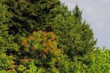 American Mountain Ash (Sorbus americana)