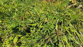 American or Canadian Burnet (Sanguisorba canadensis) Leaves