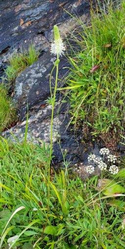 American or Canadian Burnet (Sanguisorba canadensis) Plant