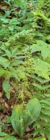 Appalachian Bunchflower (Veratrum parviflorum) Plant