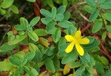 Appalachian St. John's-wort (Hypericum buckleyi)