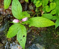 Bee Entering a Pink Turtlehead (Chelone lyonii)