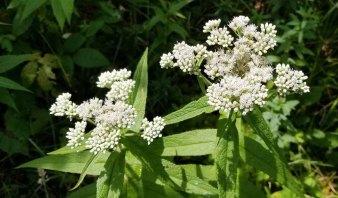Boneset (Eupatorium perfoliatum)