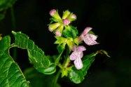 Broadtooth Hedge Nettle (Stachys latidens) Flower